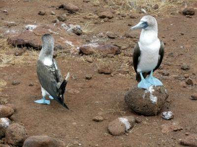 blue-footed-bird